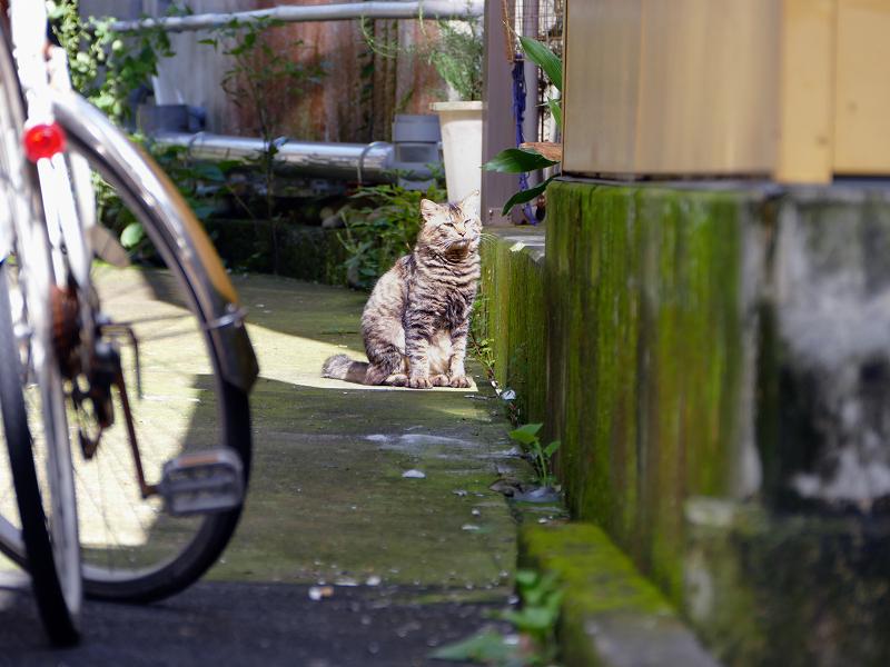 日向にいたキリリ顔のキジトラ猫2