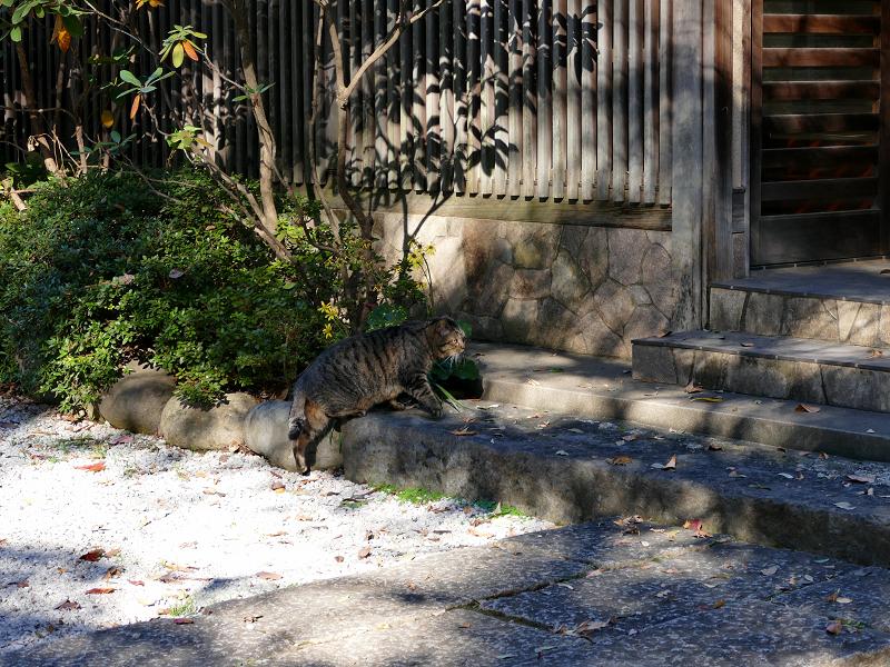境内を急いで歩くキジトラ猫2