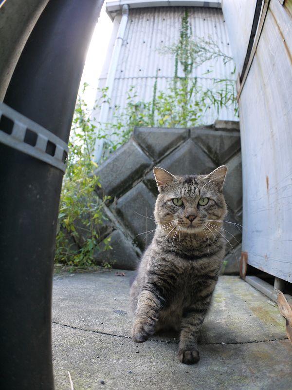 電柱の横に座ってるキジトラ猫3