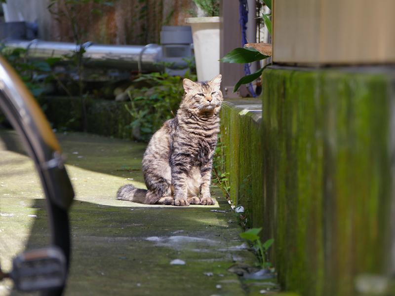 日向にいたキリリ顔のキジトラ猫3