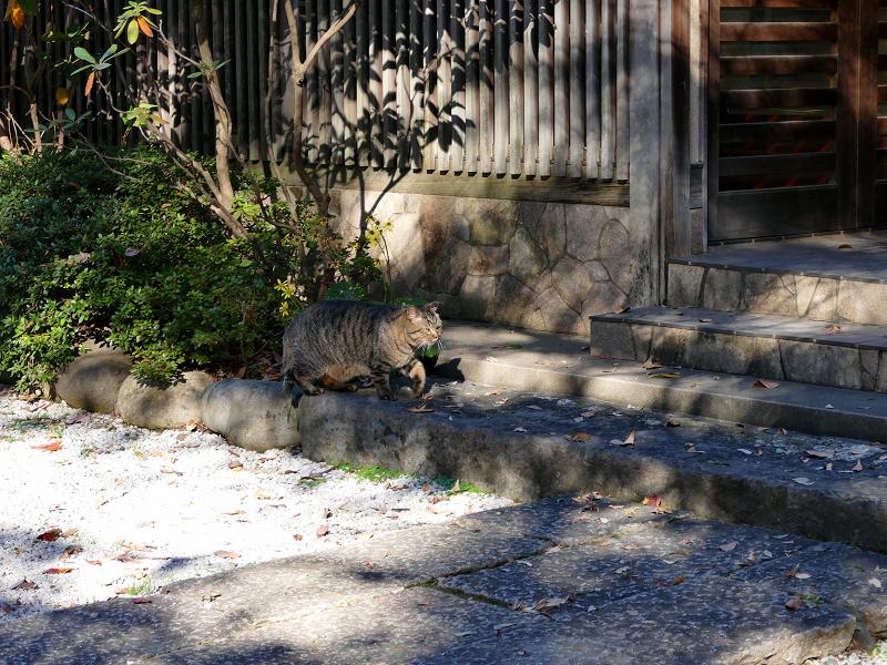 境内を急いで歩くキジトラ猫3