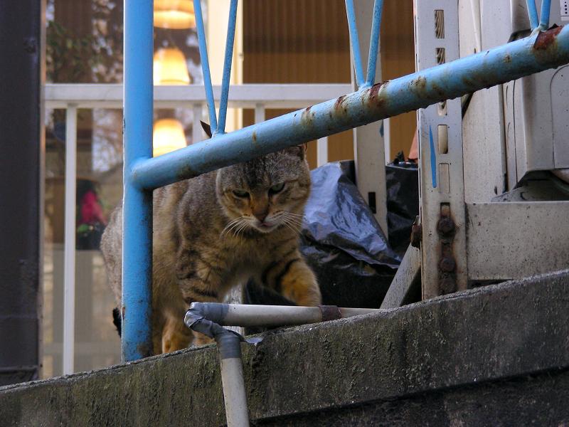 登場したキジトラ猫1