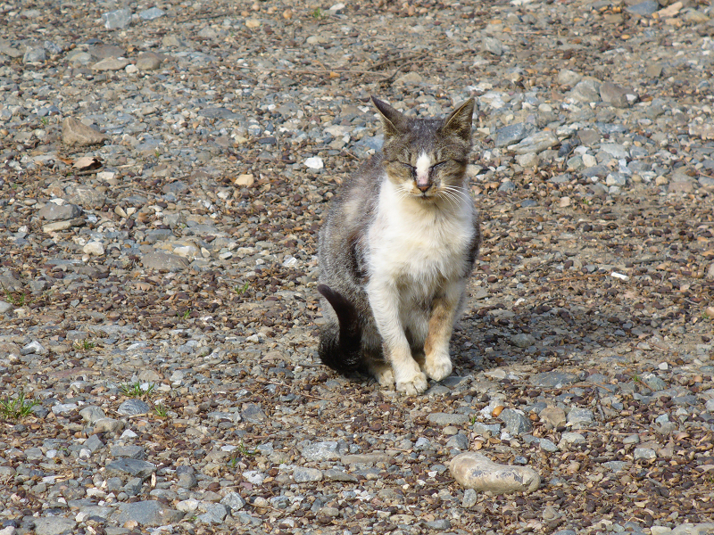 山奥で再会したキジ白猫2