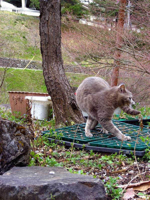 木で爪研ぎするグレー猫2