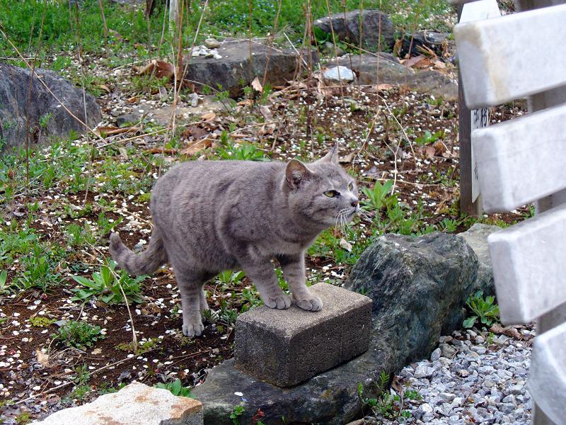 近くに寄って来たグレー猫2