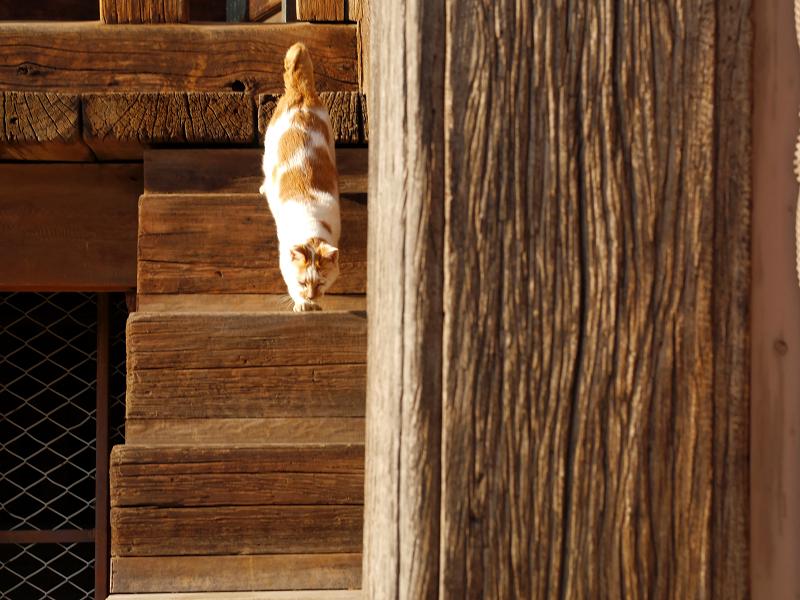 階段の端を降りてくる茶白猫1