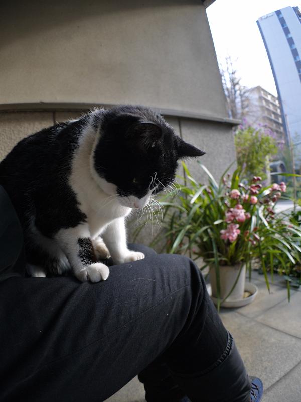 やっと膝に乗った黒白猫1
