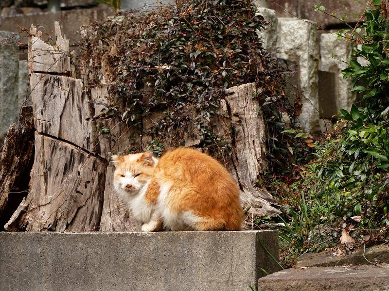 山寺で再会した毛長の茶白猫1
