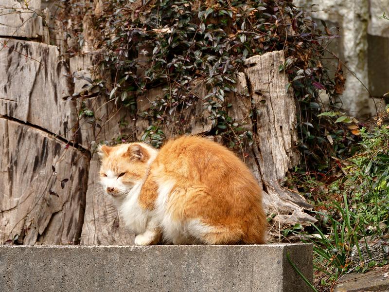 山寺で再会した毛長の茶白猫2