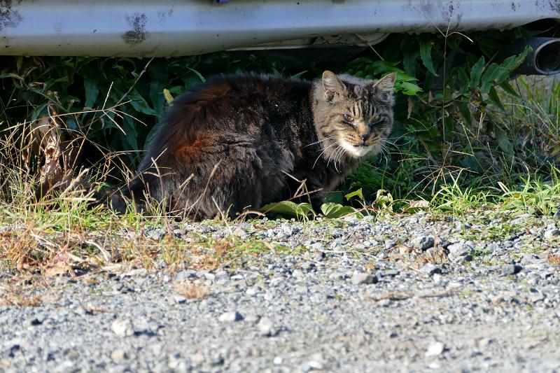 車の下の毛長の黒猫1