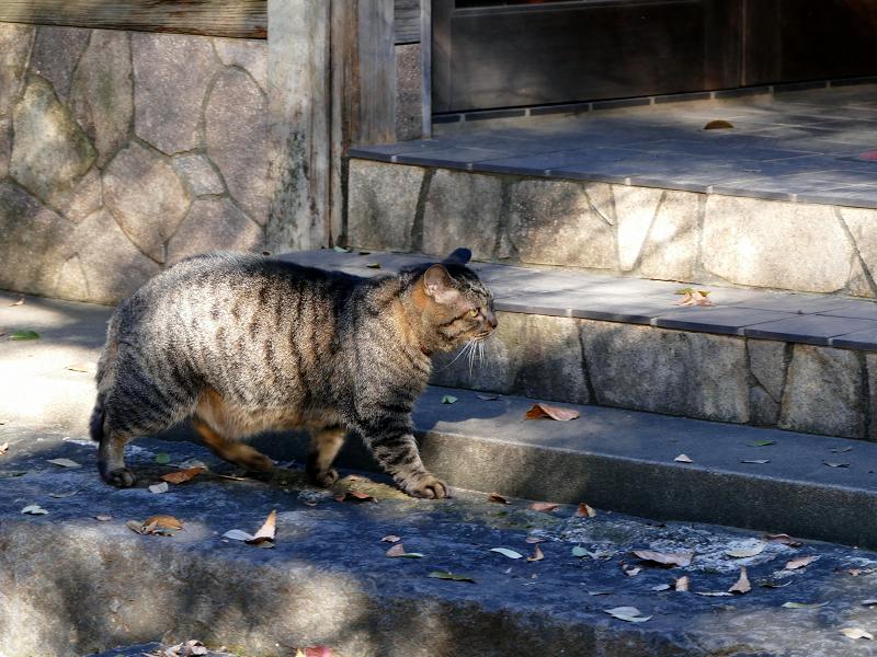 急ぎ足で歩き行くキジトラ猫1