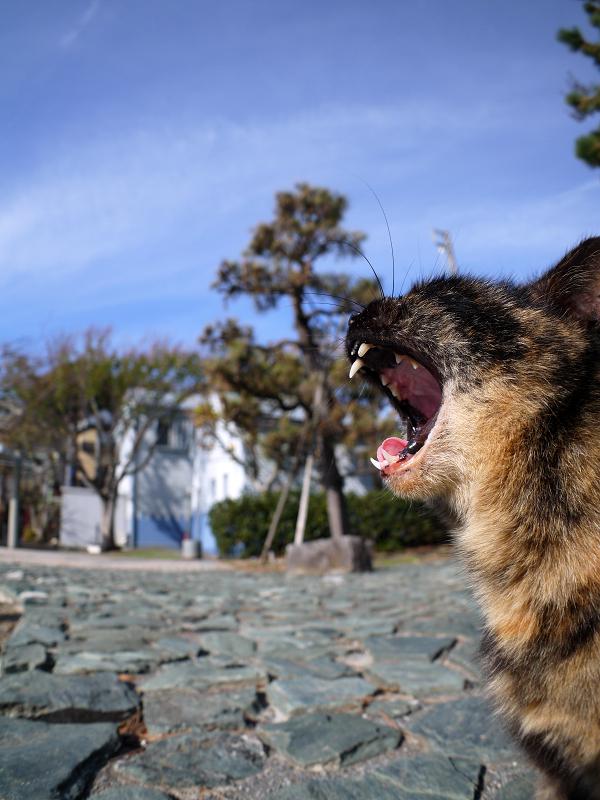 公園でアクビをするサビ柄猫2