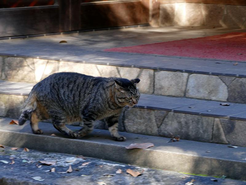 急ぎ足で歩き行くキジトラ猫2