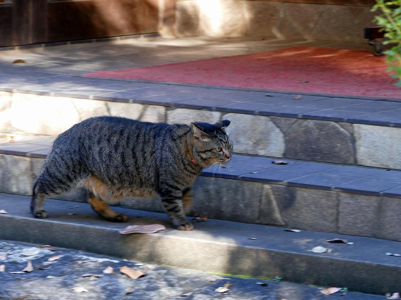 急ぎ足で歩き行くキジトラ猫3
