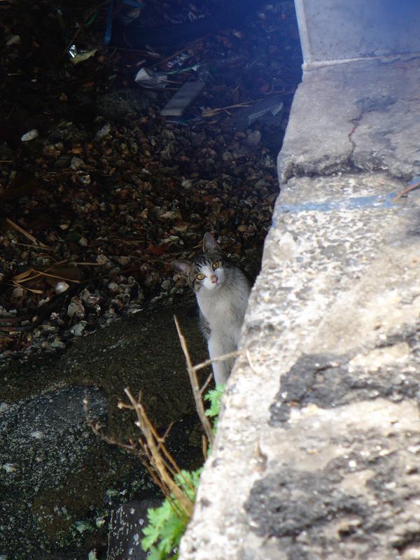 運河沿いのキジ白猫1