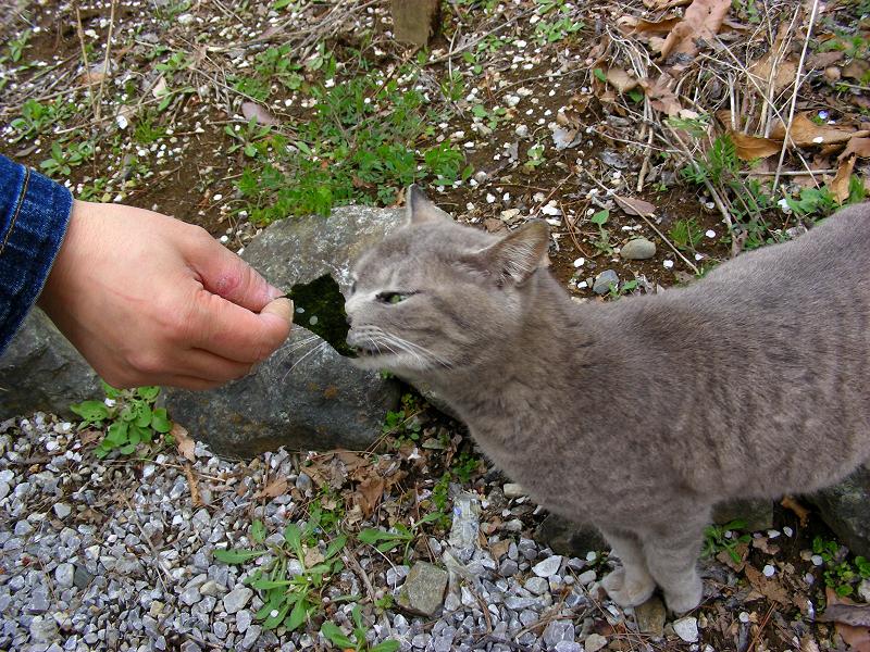 海苔を食べるグレー猫2