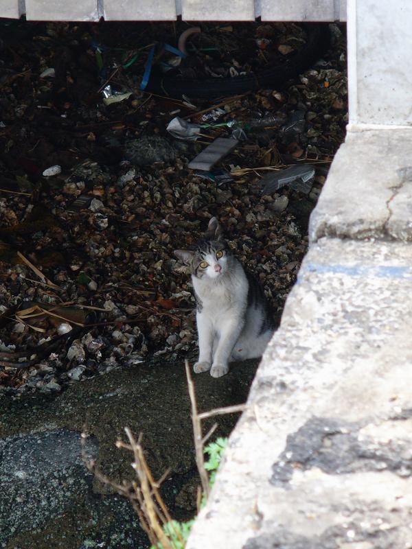 運河沿いのキジ白猫2