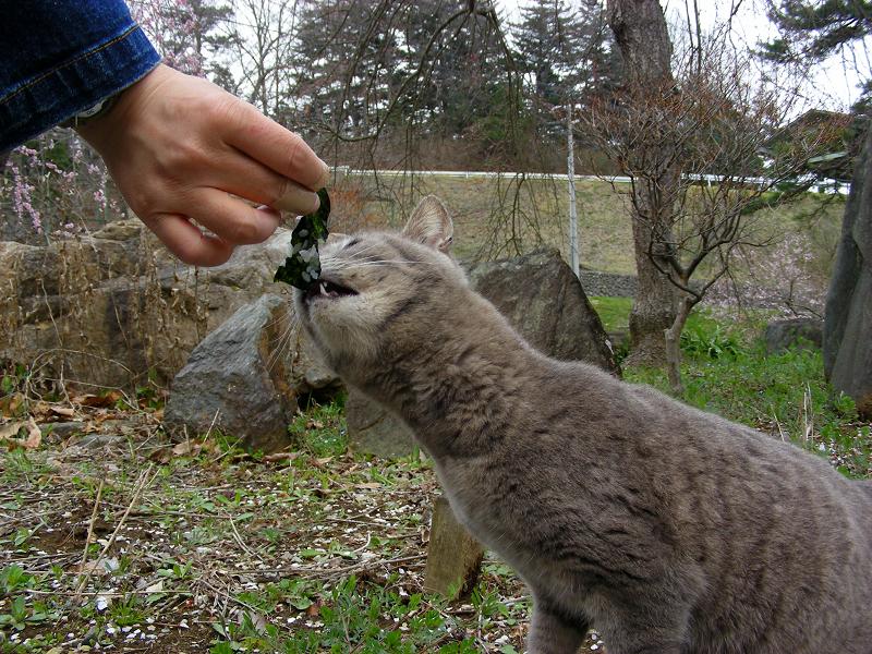 海苔を食べるグレー猫3