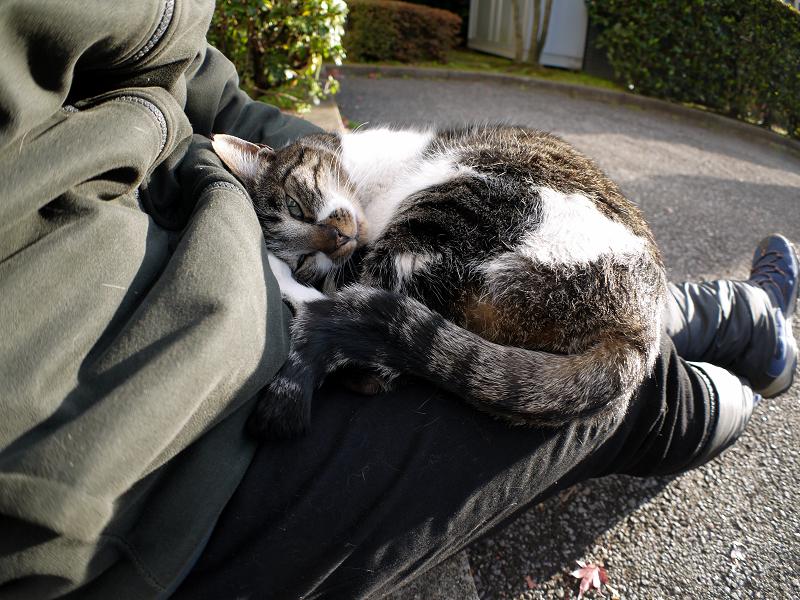 膝の上で自由にしてるキジ白猫2