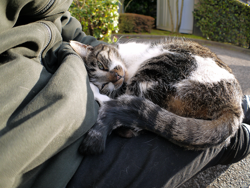 膝の上で自由にしてるキジ白猫3