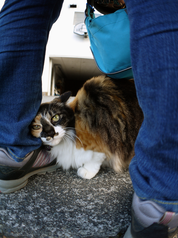 スニーカーにくっついた毛長三毛猫1