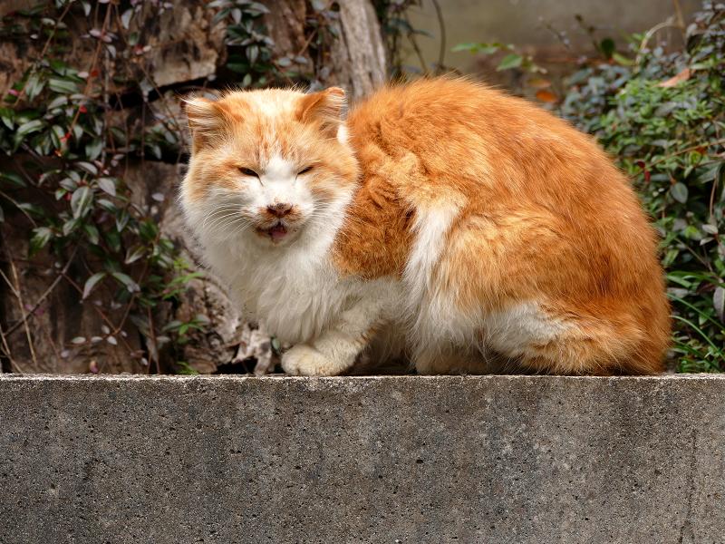 石台の上で鳴いている毛が長い茶白猫1