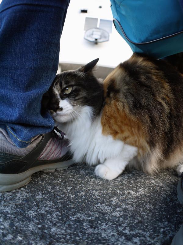 スニーカーにくっついた毛長三毛猫2