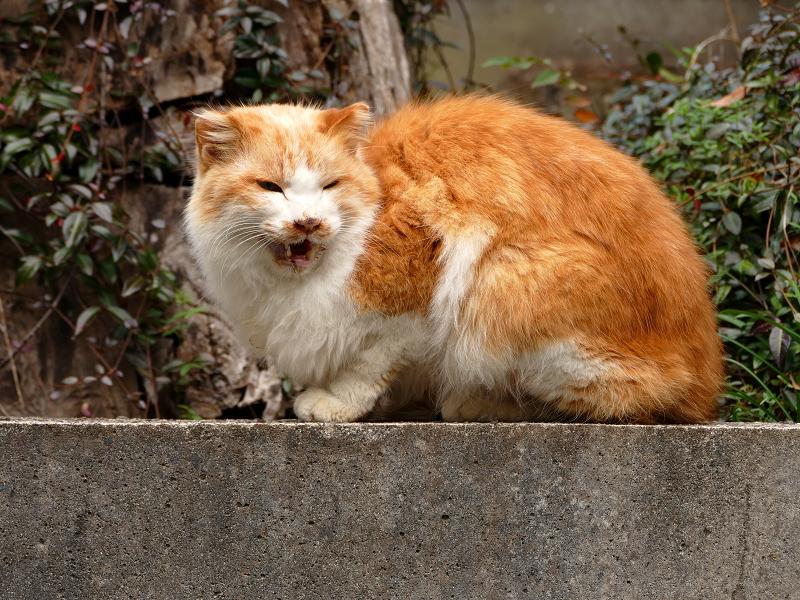 石台の上で鳴いている毛が長い茶白猫2