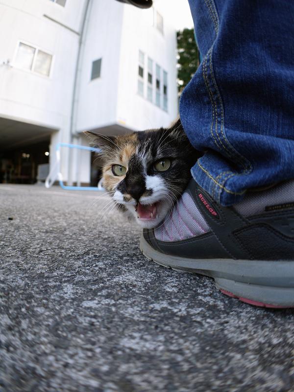 スニーカーにくっついた毛長三毛猫3