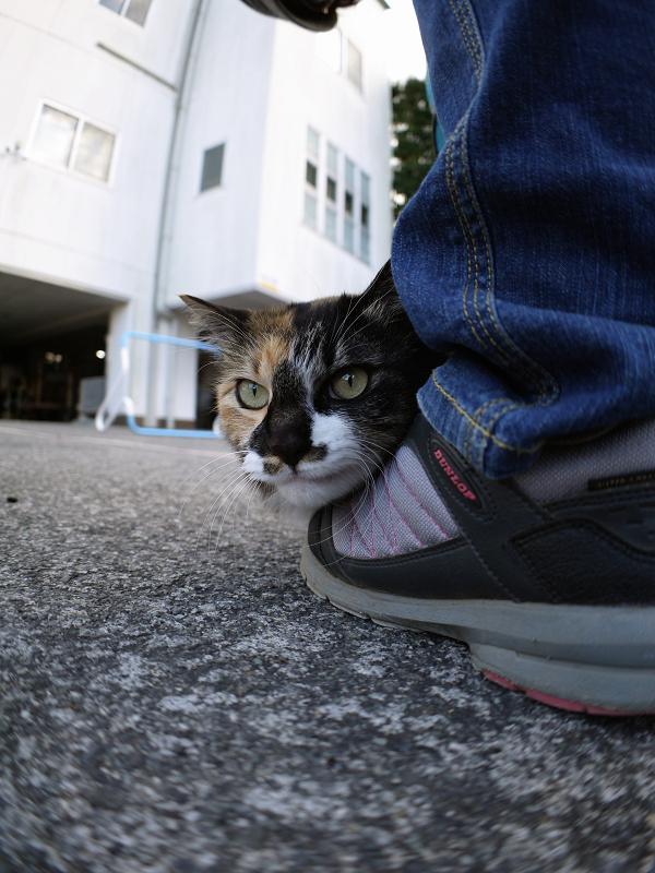 スニーカーにくっついた毛長三毛猫4