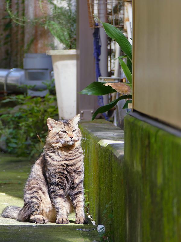 陽だまりの男前キジトラ猫1