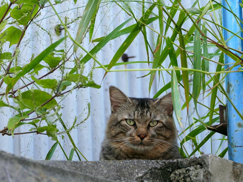 隠れて見ているキジトラ猫1