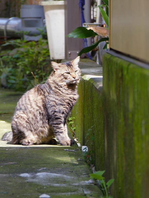 陽だまりの男前キジトラ猫2