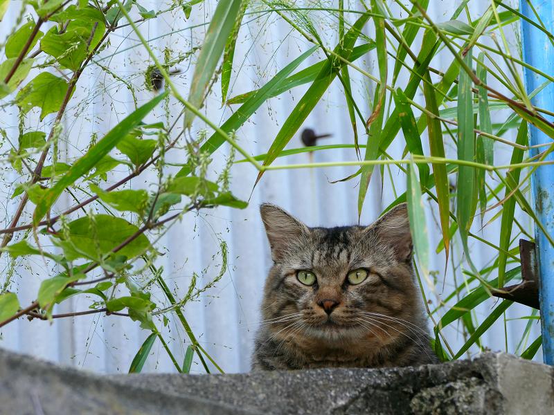 隠れて見ているキジトラ猫2