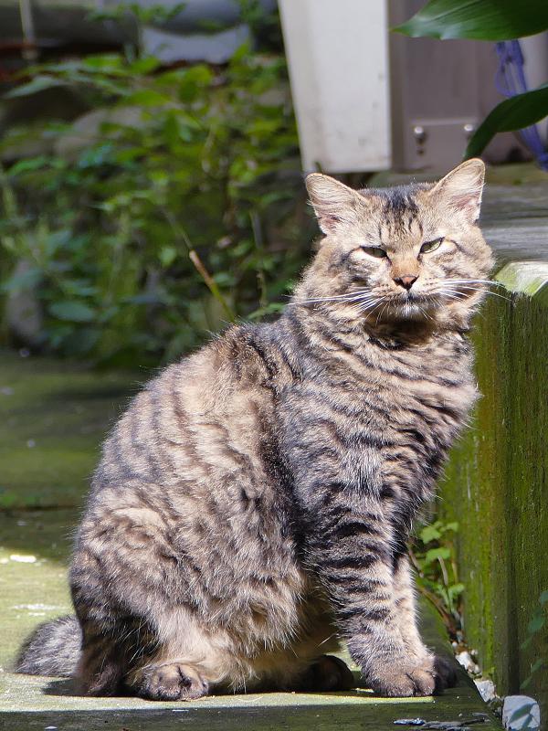 陽だまりの男前キジトラ猫3