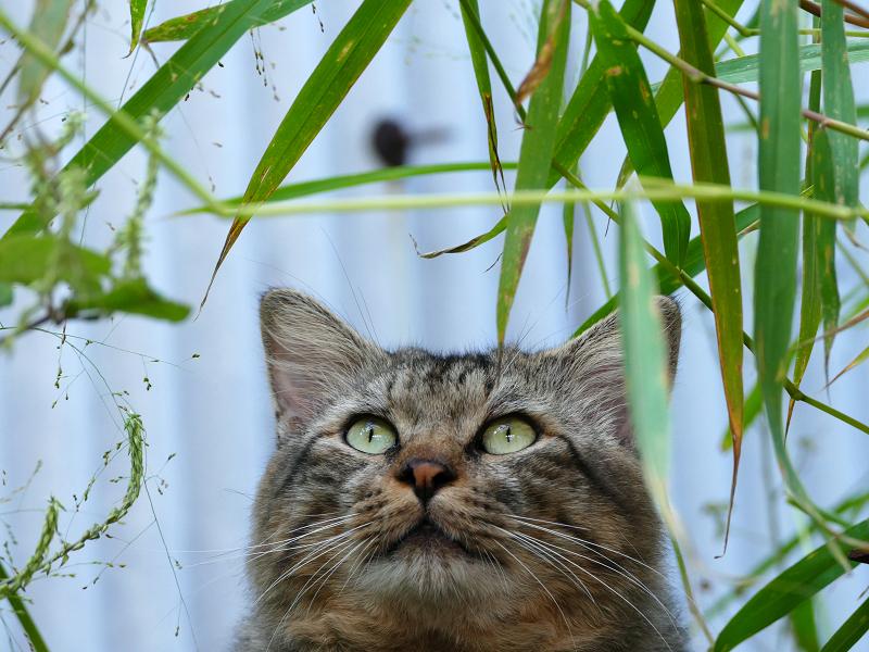 隠れて見ているキジトラ猫3