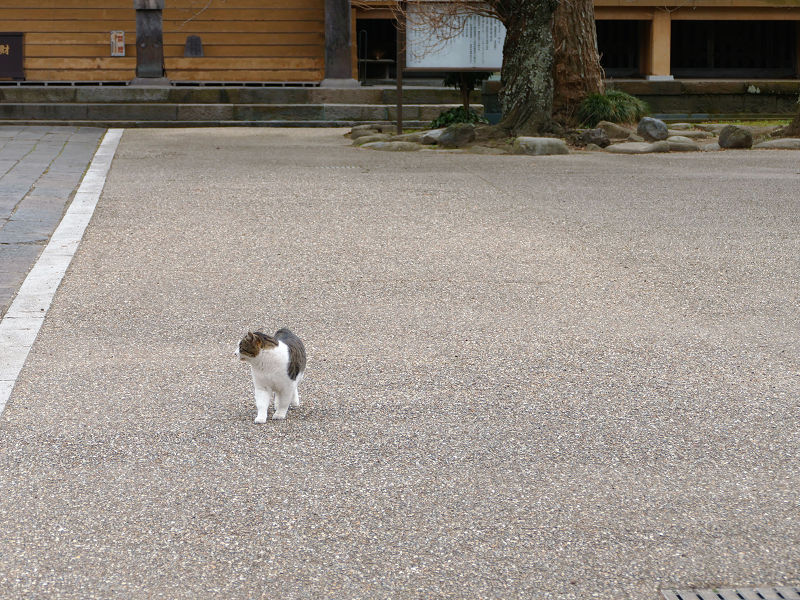 広い境内のキジ白猫1