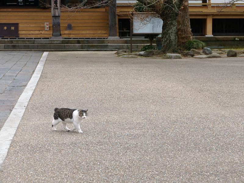 広い境内のキジ白猫2