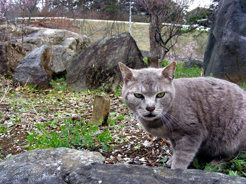 山奥のグレー猫1