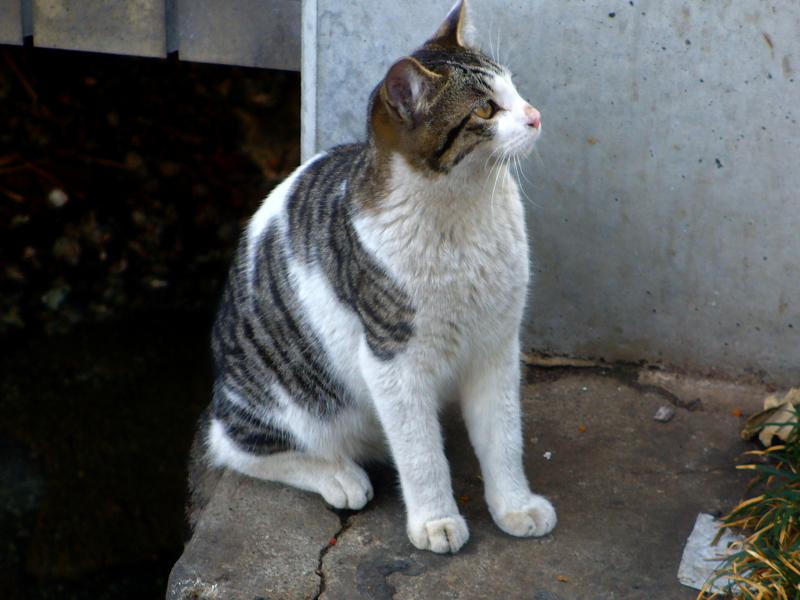 運河のキジ白猫1