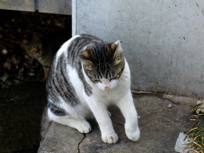 運河のキジ白猫2