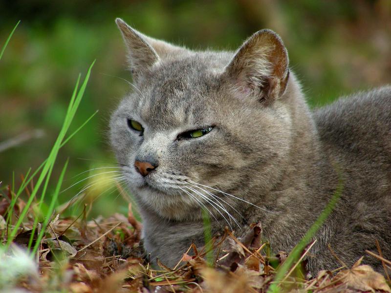草原とグレー猫3