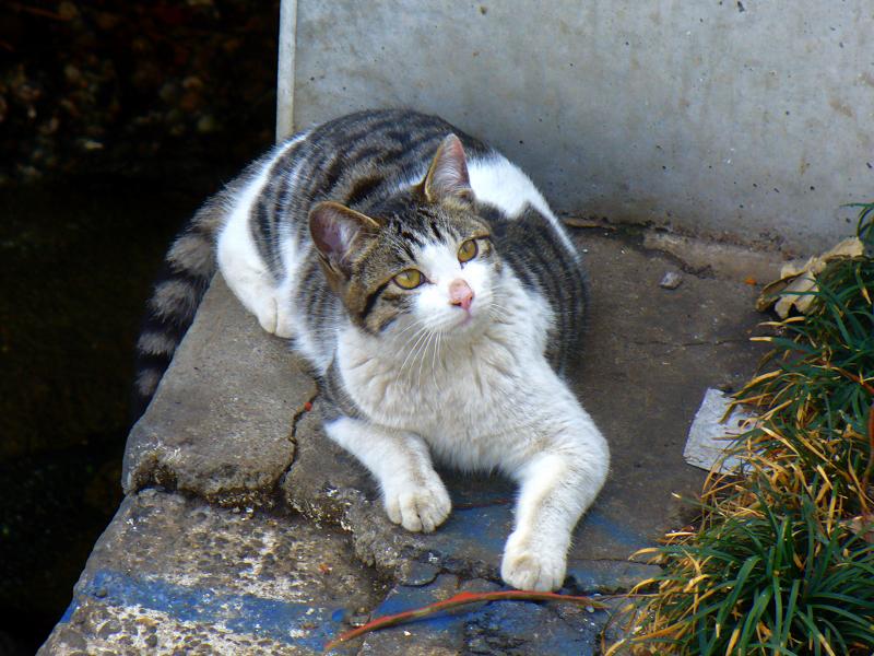 運河のキジ白猫3
