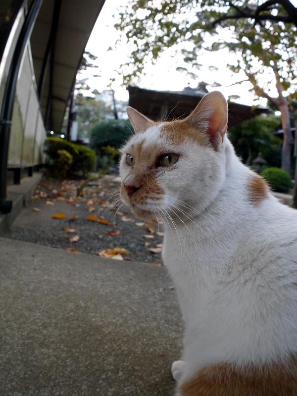 茶白猫の斜め姿