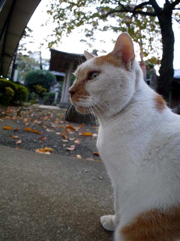 茶白猫の横姿