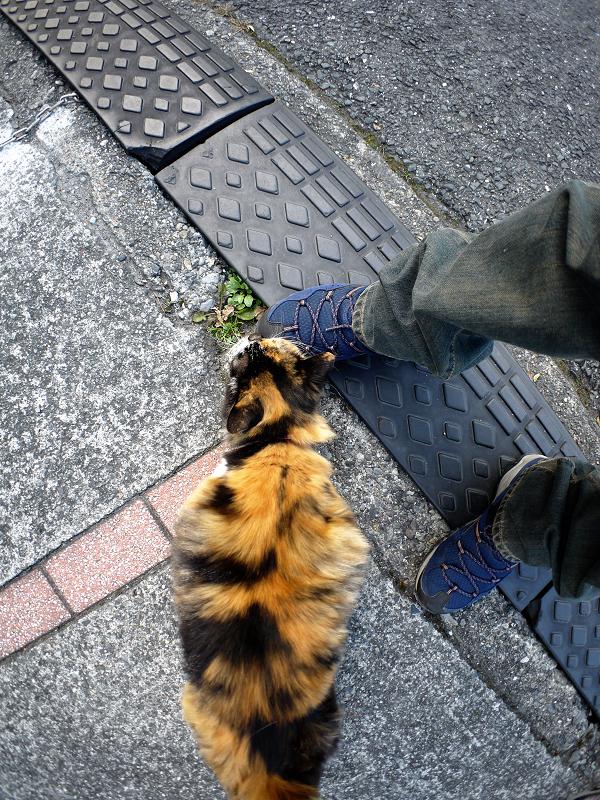 駆け寄ってきた毛長の三毛猫1