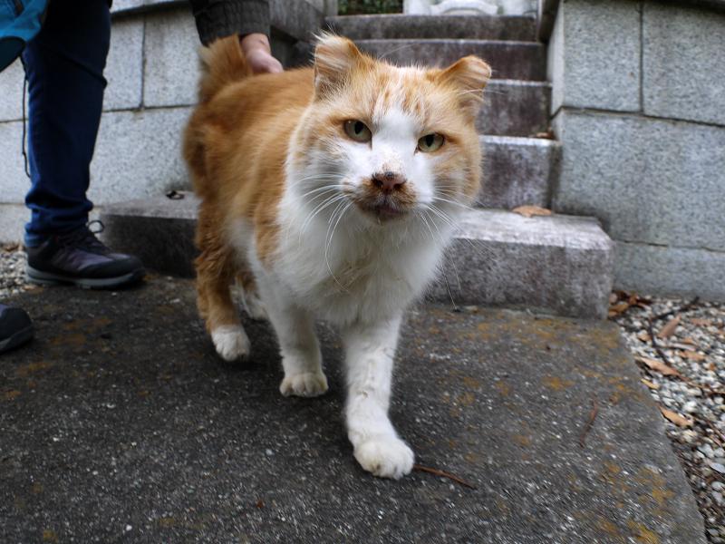 足元に来た毛長の茶白猫1