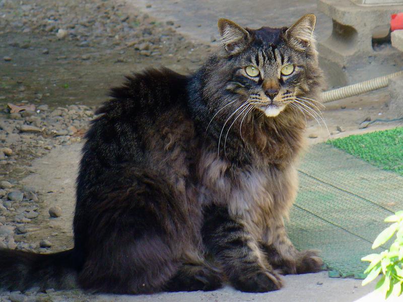 8年前の毛長の黒猫