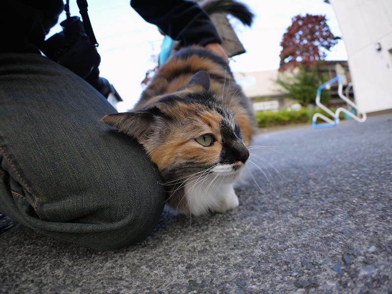 駆け寄ってきた毛長の三毛猫2