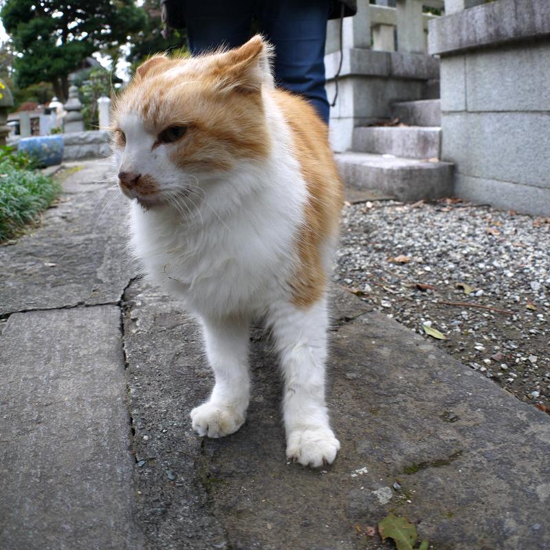 足元に来た毛長の茶白猫3
